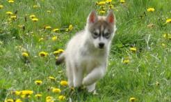 Popularne rase pasa u Srbiji