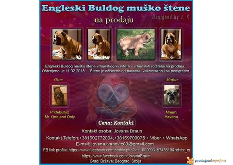 Engleski Buldog muško štene
