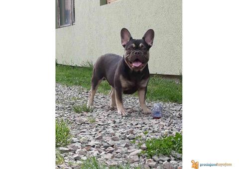 Francuski bulldog stenci