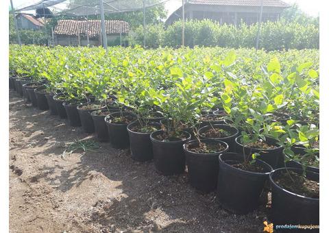 Sadnice borovnice sorti Duke i Bluecrop - po promotivnoj ceni
