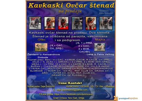 Kavkaski ovčar štenad na prodaju