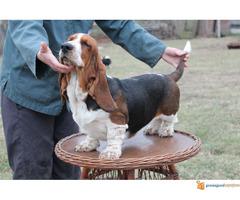 Basset hound- baset