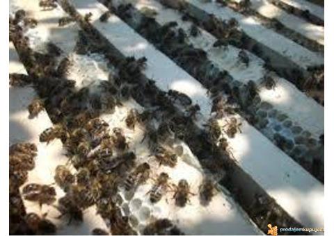Prodajem pčelinja društva
