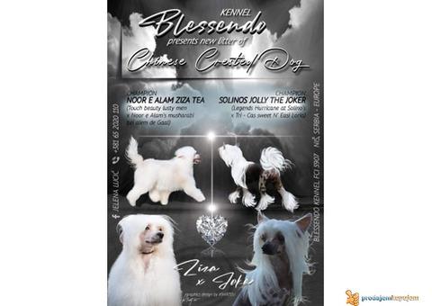 Kineski ćubasti pas - dugodlaki muzjak