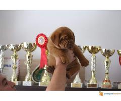 BORDOSKE DOGE - izlozgenog kvalieta