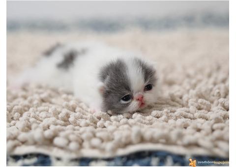 Rezervacija PERSIJSKIH I EGZOTA macica