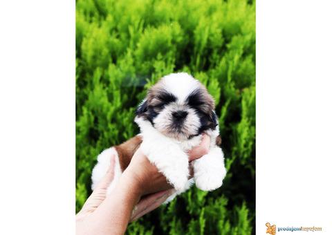 ŠICU - čistokrvni štenci