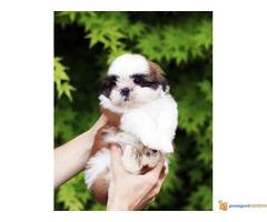 Prelepi štenci FRANCUSKOG BULDOGA