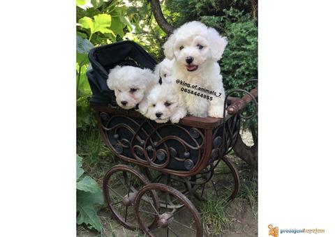 Prelepi štenci KOVRDZAVOG BISONA