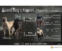 Perro de Presa CANARIO - psi uvezeni sa Kanarskih ostrva