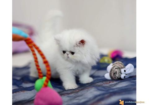 PERSIJSKI I EGZOTA macici na prodaju