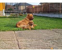 Stenci BORDOSKE DOGE - odlicne krvne linije
