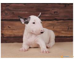 BUL TERIJER - štenci šampionskog porekla