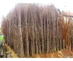 Razne sadnice iz rasadnika NASTIC Dragana