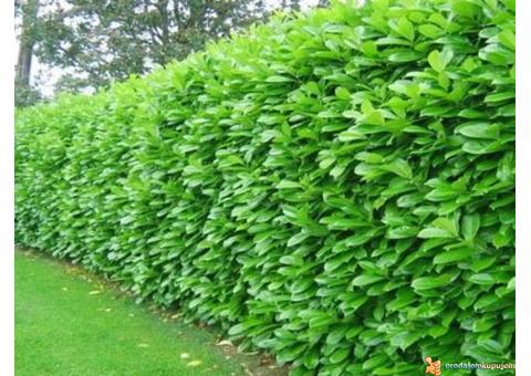 Živa ograda, travnjak.. (šišanje, košenje..) - Baštovanske usluge