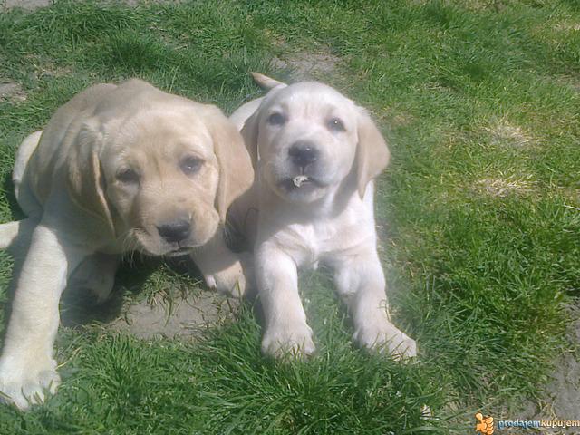 Learn These Kupujem Prodajem Psi Labrador