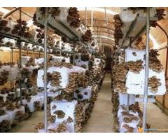 Micelijum seme gljive bukovace,shitake,sampinjona