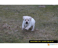 Labrador retriver - Slika 3/4