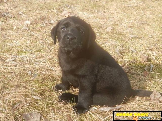 Labrador retriver - 4/4