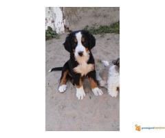 HITNO na prodaju zensko stene bernskog planinskog psa - Slika 2/3