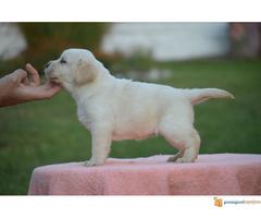 Labrador retriver muska i zenska stenad
