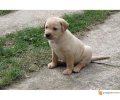 Prodajem stenad labrador retrivera bele i crne boje - Slika 5/5