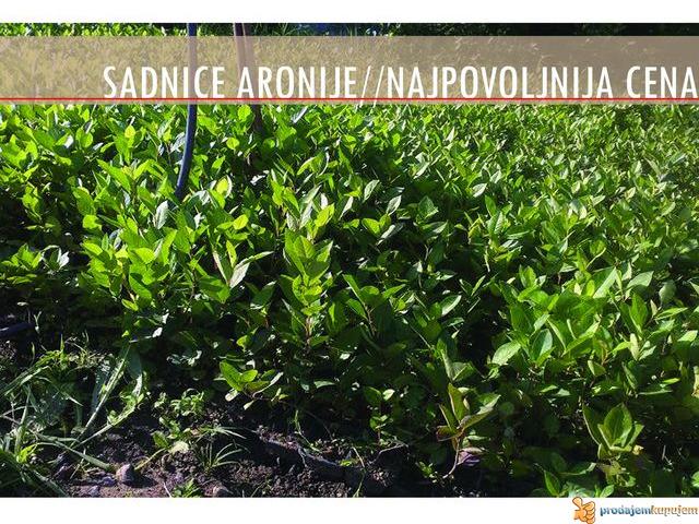 Sadnice Aronije (Aronia melanocarpa) - 2/2