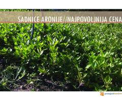 Sadnice Aronije (Aronia melanocarpa) - Slika 2/2