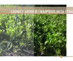 Sadnice Aronije (Aronia melanocarpa)