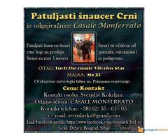 Patuljasti šnaucer Crni iz odgajivacnice Casale Monferrato