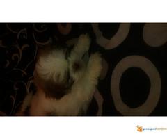 Na prodaju štenci si-cu - Slika 2/3
