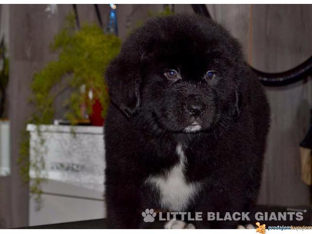 Štenci njufaundlendera – newfoundland puppies - 2/7