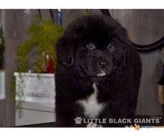 Štenci njufaundlendera – newfoundland puppies - Slika 2/7