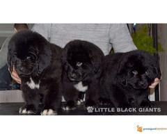 Štenci njufaundlendera – newfoundland puppies - Slika 5/7