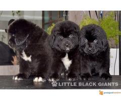 Štenci njufaundlendera – newfoundland puppies - Slika 6/7