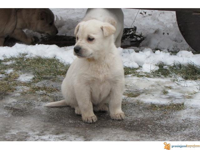Labrador retriver stenad na prodaju - 1/7
