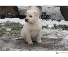 Labrador retriver stenad na prodaju - Slika 1/7