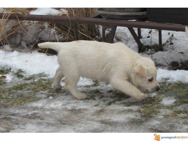 Labrador retriver stenad na prodaju - 2/7