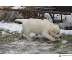 Labrador retriver stenad na prodaju - Slika 2/7
