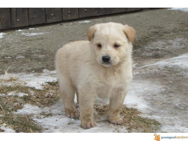 Labrador retriver stenad na prodaju - 3/7