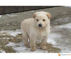 Labrador retriver stenad na prodaju - Slika 3/7