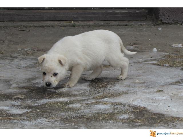 Labrador retriver stenad na prodaju - 4/7