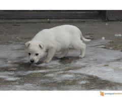 Labrador retriver stenad na prodaju - Slika 4/7