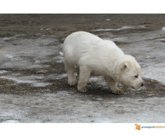 Labrador retriver stenad na prodaju - Slika 5/7