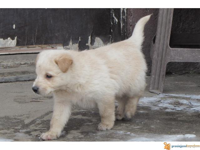 Labrador retriver stenad na prodaju - 6/7