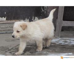 Labrador retriver stenad na prodaju - Slika 6/7