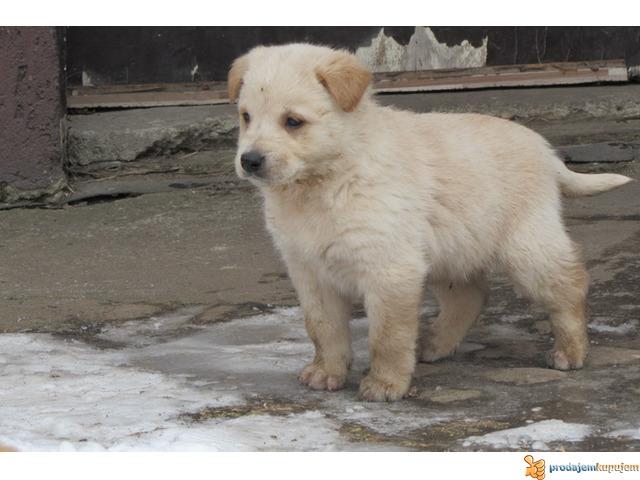 Labrador retriver stenad na prodaju - 7/7