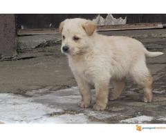 Labrador retriver stenad na prodaju - Slika 7/7
