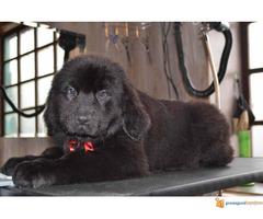 Štenci njufaundlendera – newfoundland puppies