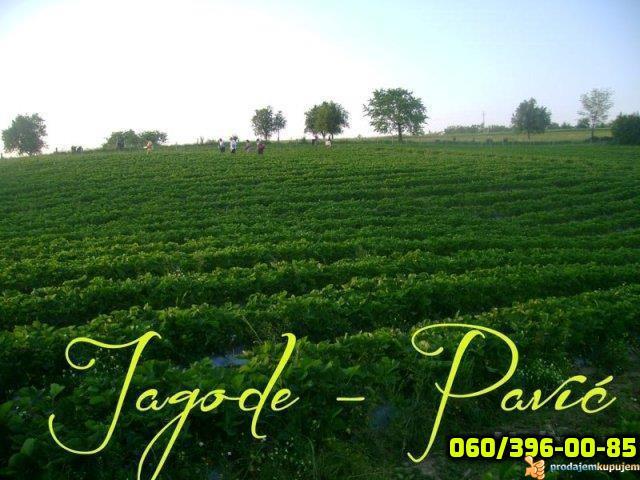 Plantaze Jagoda Pavic - 2/4
